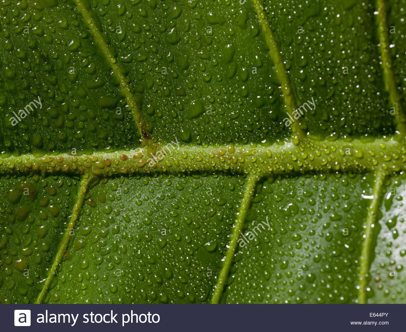 Nahaufnahme von Tau-Tropfen und Venen auf grünes Blatt Stockbild
