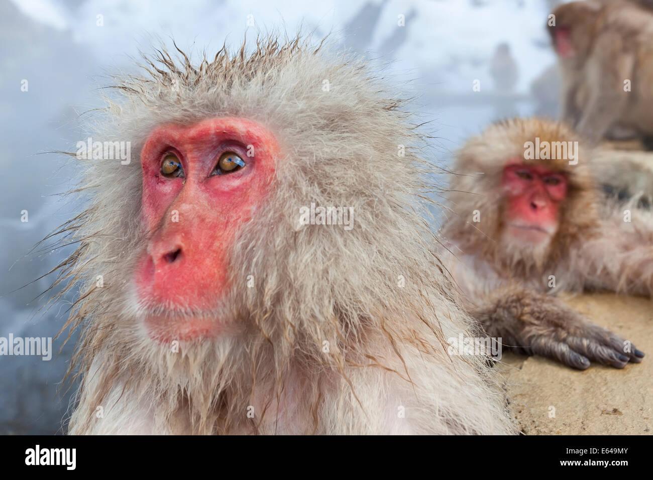 Japanischen Makaken (Macaca Fuscata) / Snow Monkey, Joshin-Etsu Nationalpark, Honshu, Japan Stockfoto