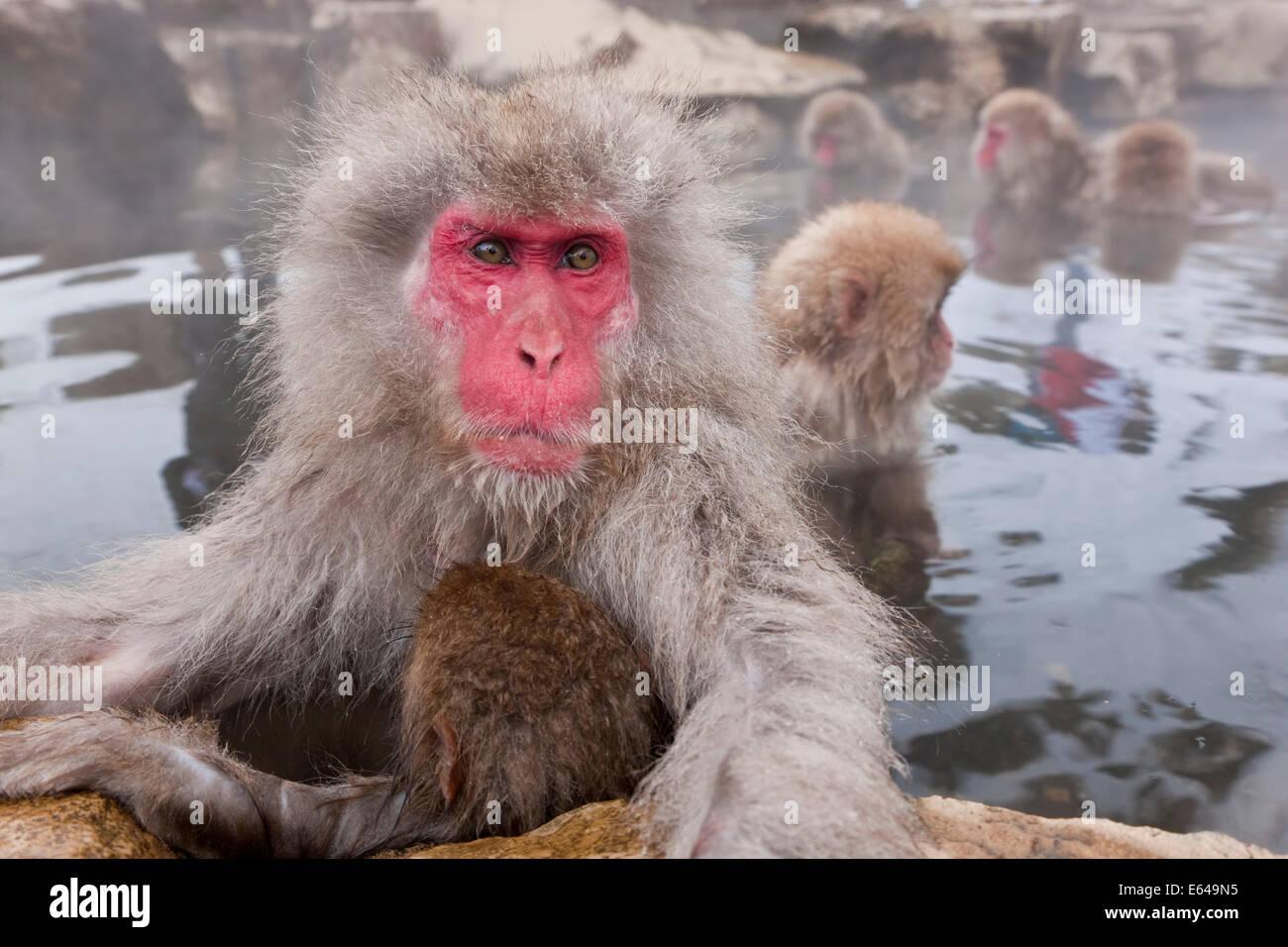 Japanischen Makaken (Macaca Fuscata) / Snow Monkey, Joshin-Etsu Nationalpark, Honshu, Japan Stockbild