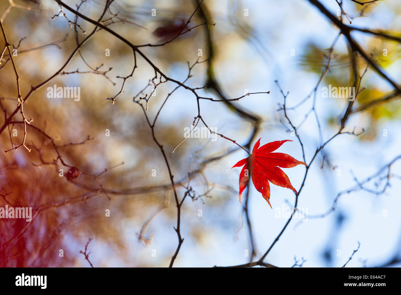 Herbstliche Bäume, Westonbirt Arboretum, Gloucestershire, UK Stockbild