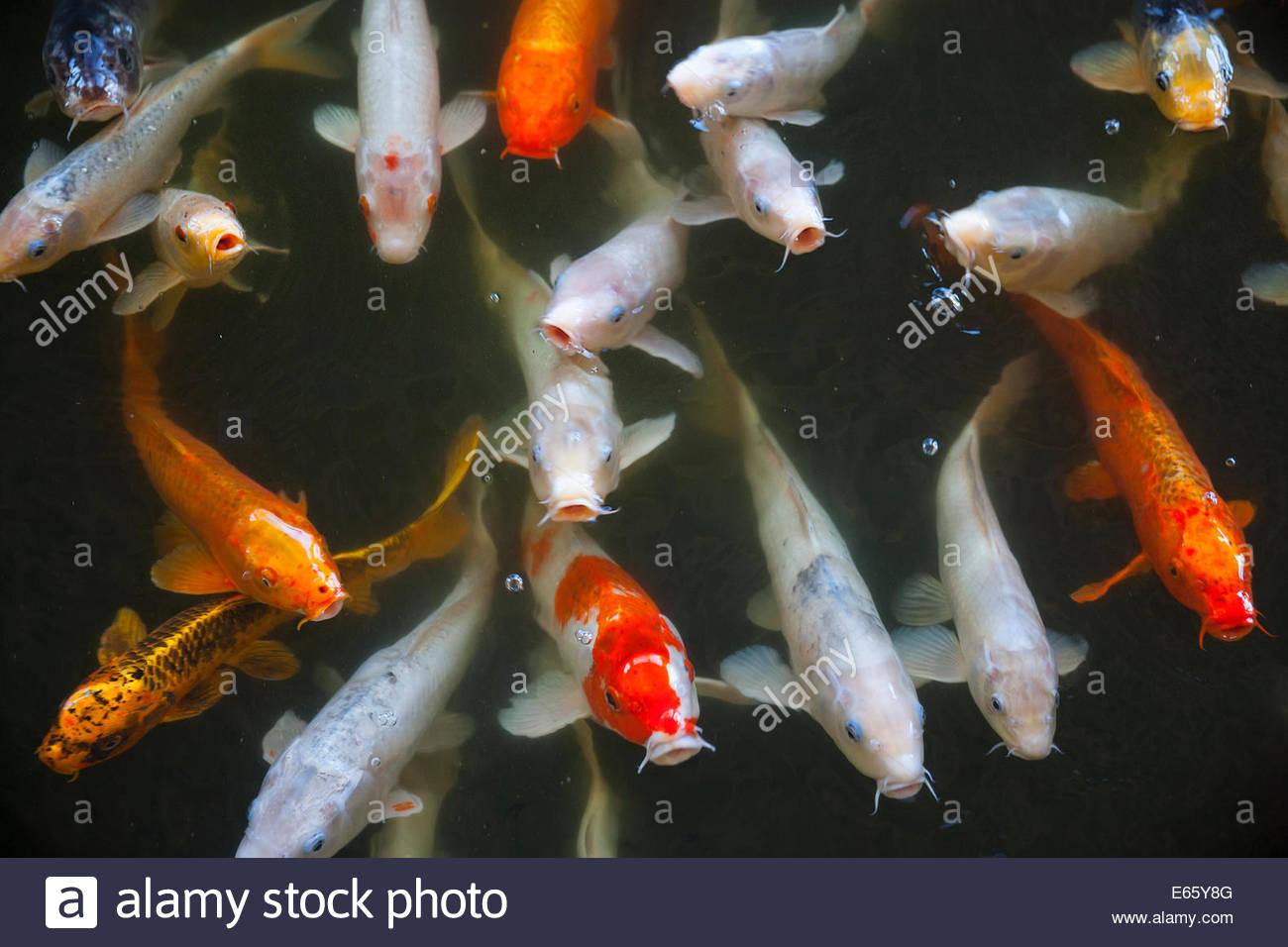 Eine große Schule von Koi (Cyprinus Carpio), einem domestizierten Karpfen, warten, um in einem Teich in Makena, Stockbild