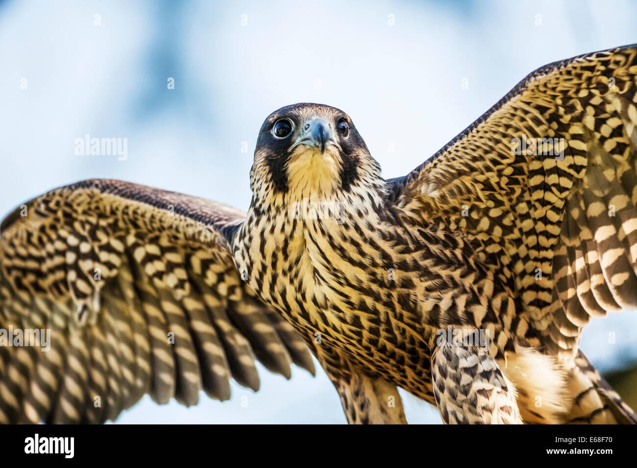 Ein Wanderfalke Falco peregrinus Stockbild