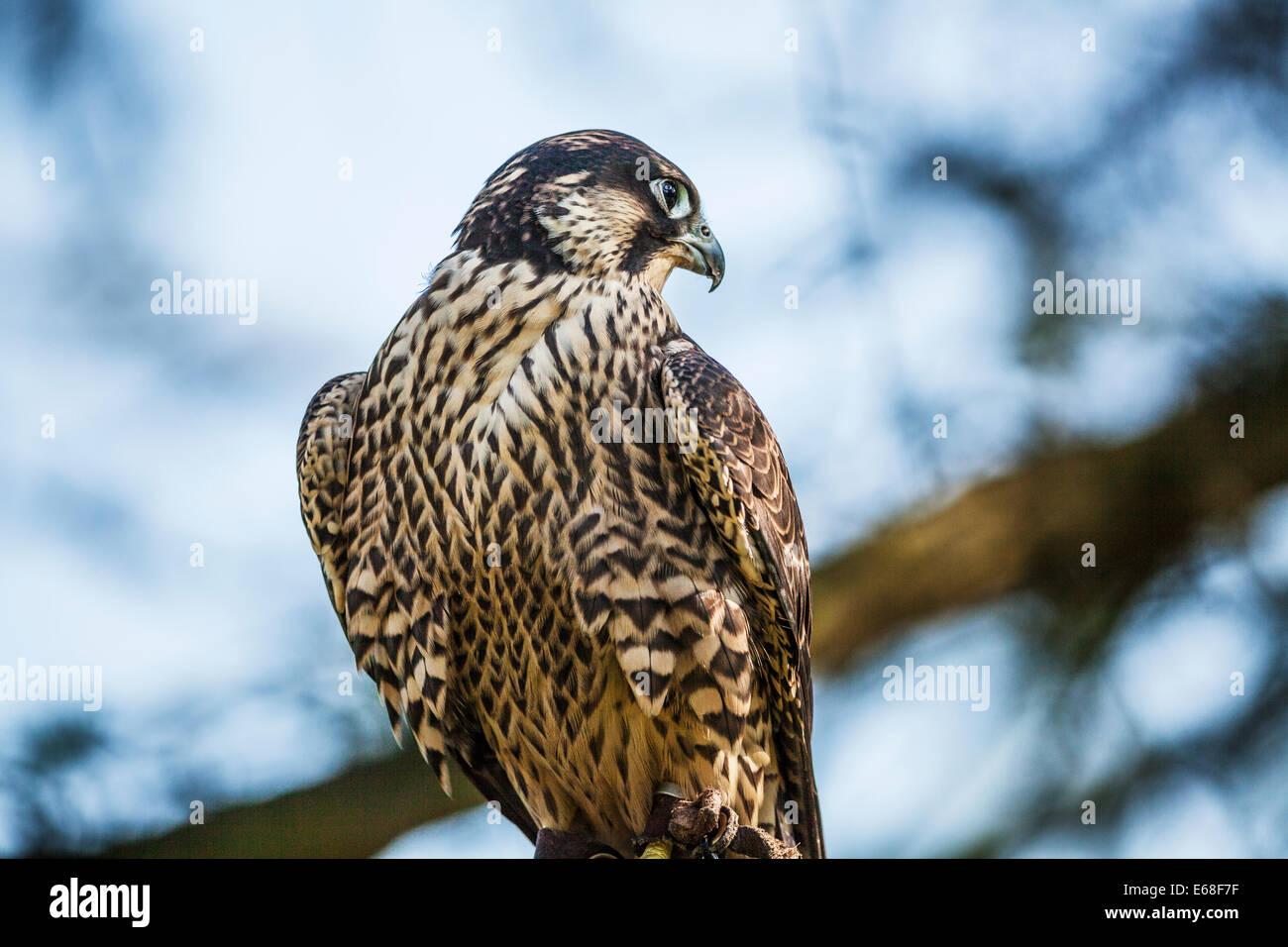 Ein Gefangener Wanderfalke Falco peregrinus Stockbild