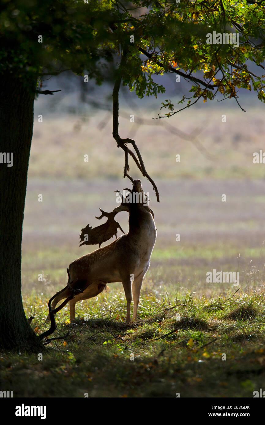 Damhirsch (Dama Dama) Buck kratzen Kopf gegen Zweig während der Brunft im Herbst Stockbild