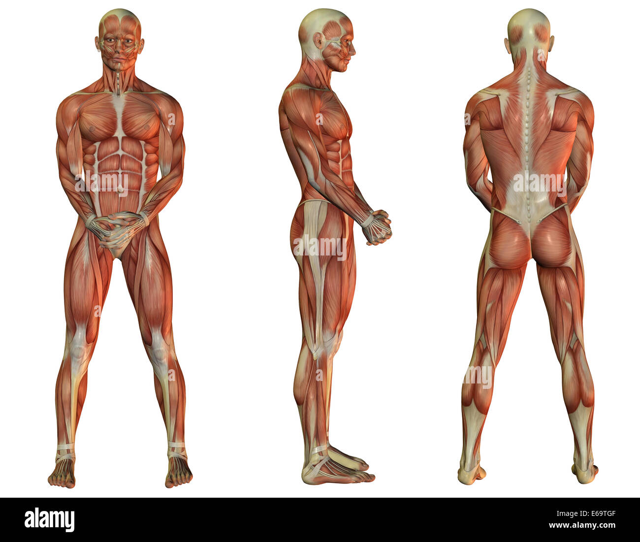 Anatomie, Muskulatur, Muskeln, Menschen Stockfoto, Bild: 72746255 ...