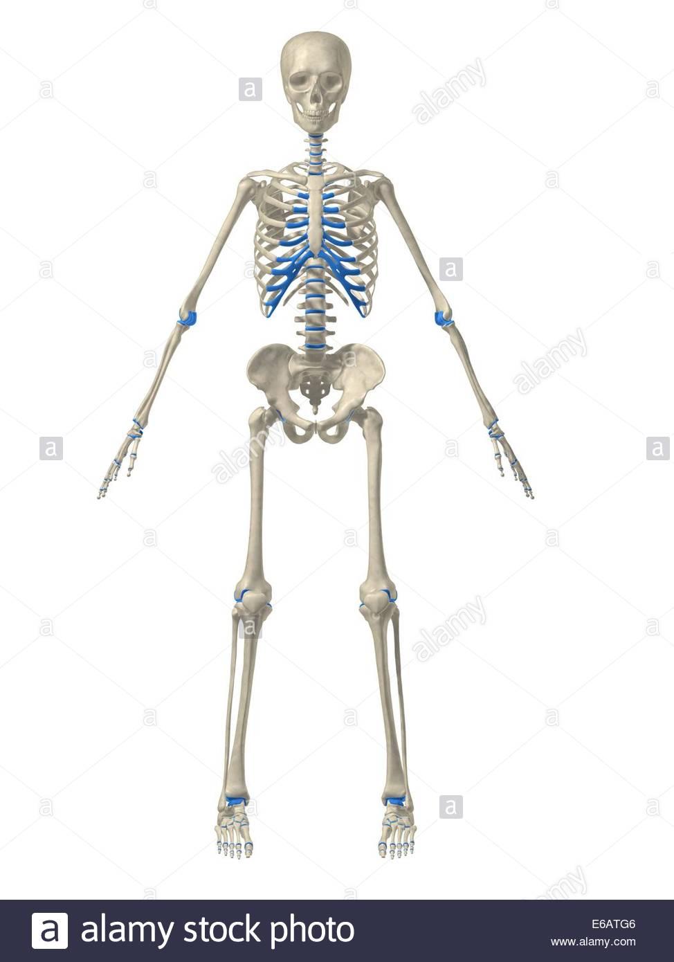Charmant Hai Skelett Anatomie Bilder - Anatomie Ideen - finotti.info