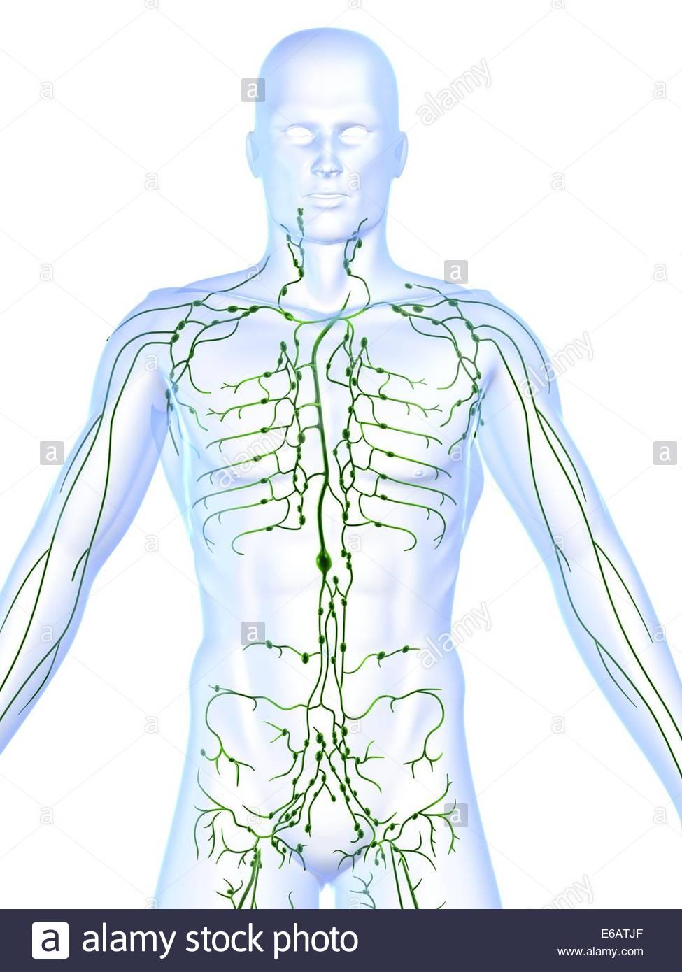 Tolle Anatomie Und Physiologie Des Lymphsystems Zeitgenössisch ...