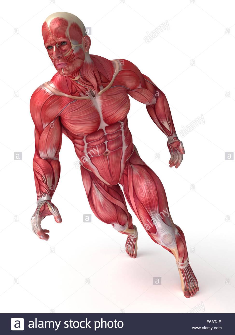 laufen, Muskulatur, Anatomie, Muskeln Stockfoto, Bild: 72768271 - Alamy