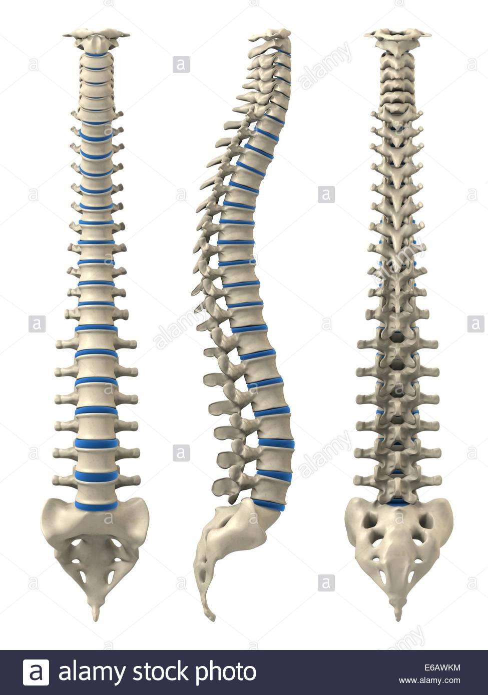 menschliche Wirbelsäule, Anatomie, medizinische Illustrationen ...