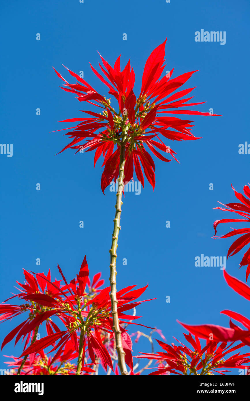 Lebendige und farbenfrohe Euphorbia Pulcherrima Pflanze. Stockbild