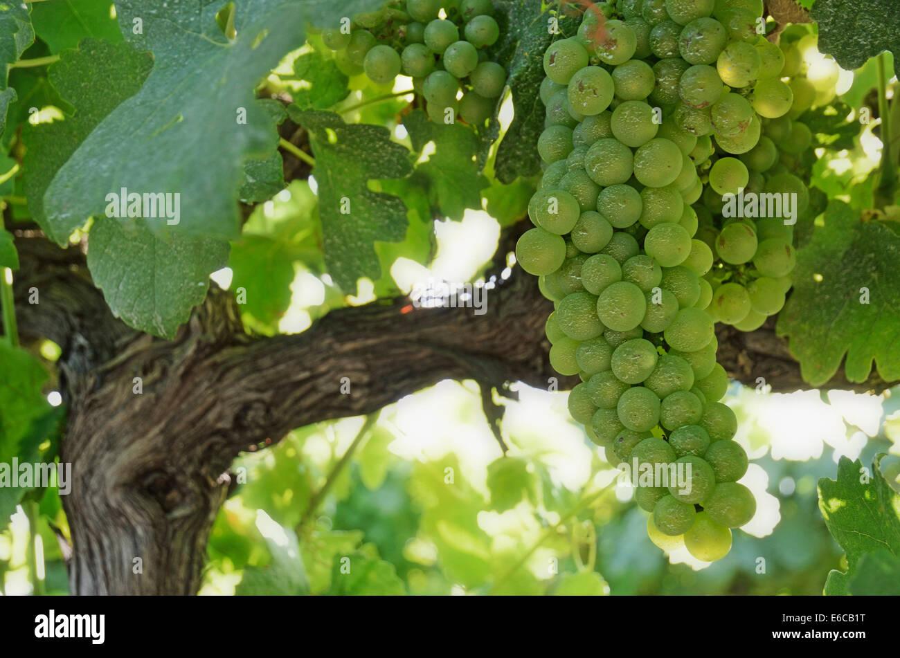 Grüne Trauben am Rebstock in einem Weinberg im Sommer, Provence, Frankreich Stockbild