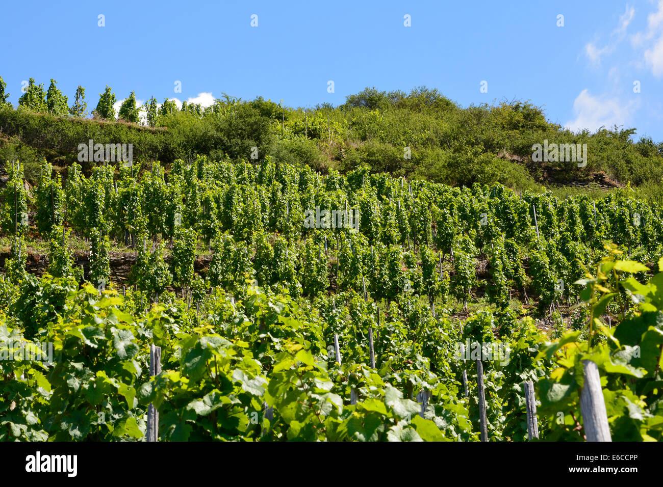 Weinberge im Sommer mit blauem Himmel Mosel Deutschland Steilhang Weinbergslandschaft Weinberge Blauer Himmel-Rheinland Stockbild