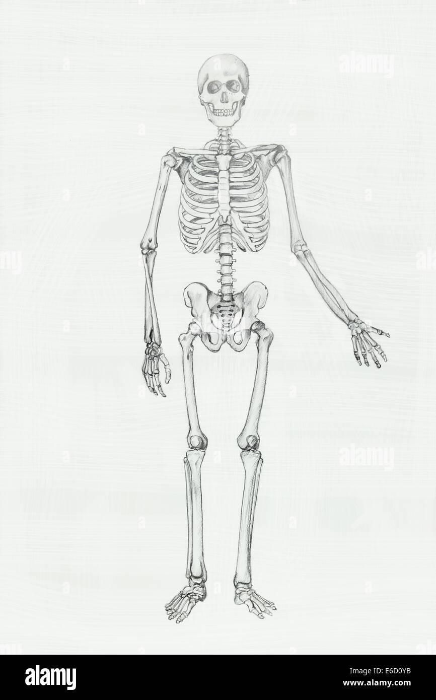 Menschliche Anatomie Bleistiftzeichnung Abbildung Stockfoto, Bild ...
