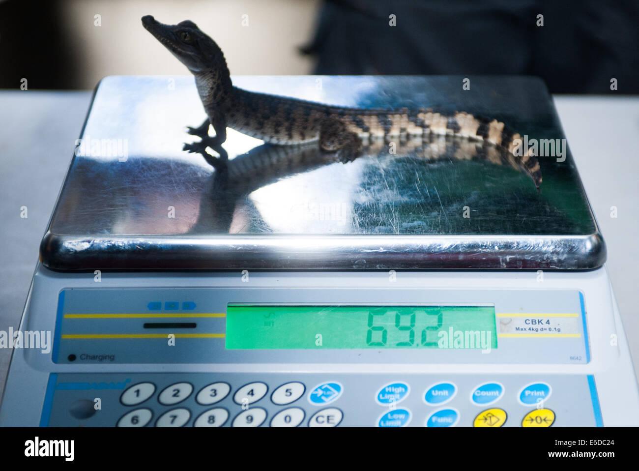 London, UK. 21. August 2014. 7 Wochen Phillipine Krokodil, 79 Gramm, misst während der ZSL London Zoo jährliche Stockfoto