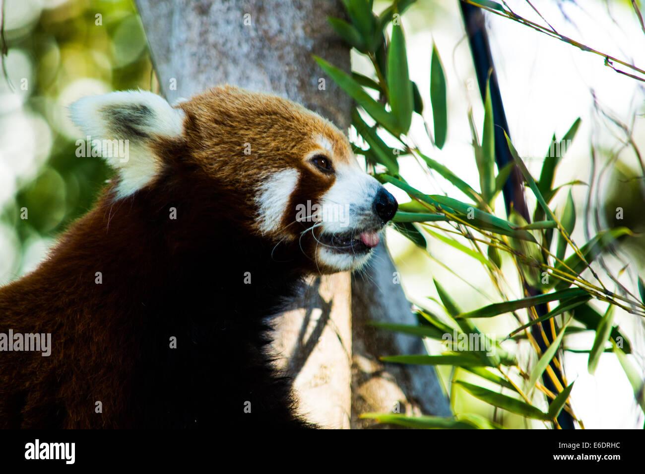 Fantastisch Pandabär Färbung Seite Bilder - Malvorlagen-Ideen ...