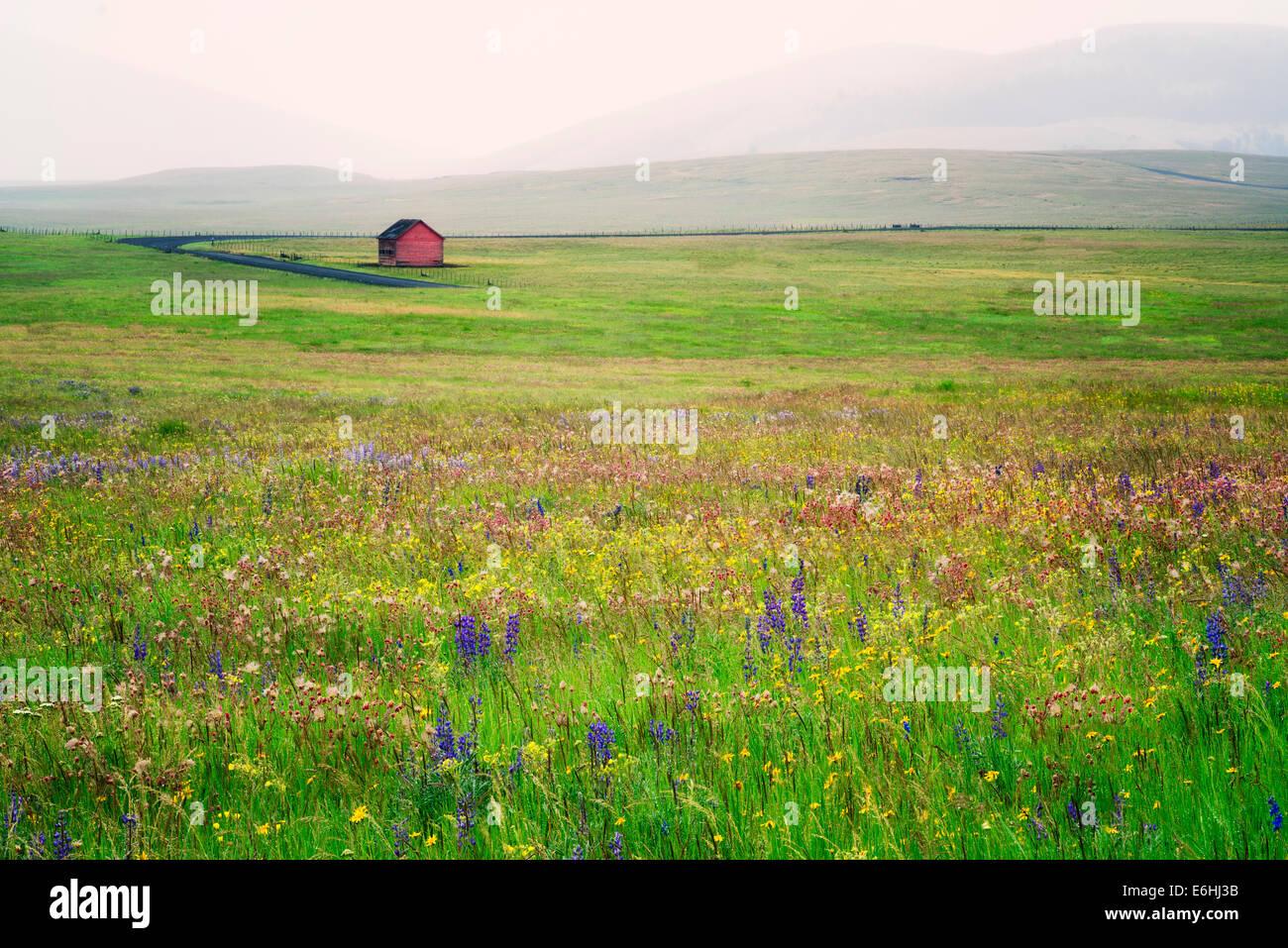 Zumwalt Prairie zu bewahren mit Wildblumen und Scheune in Regen Sturm. Oregon Stockbild