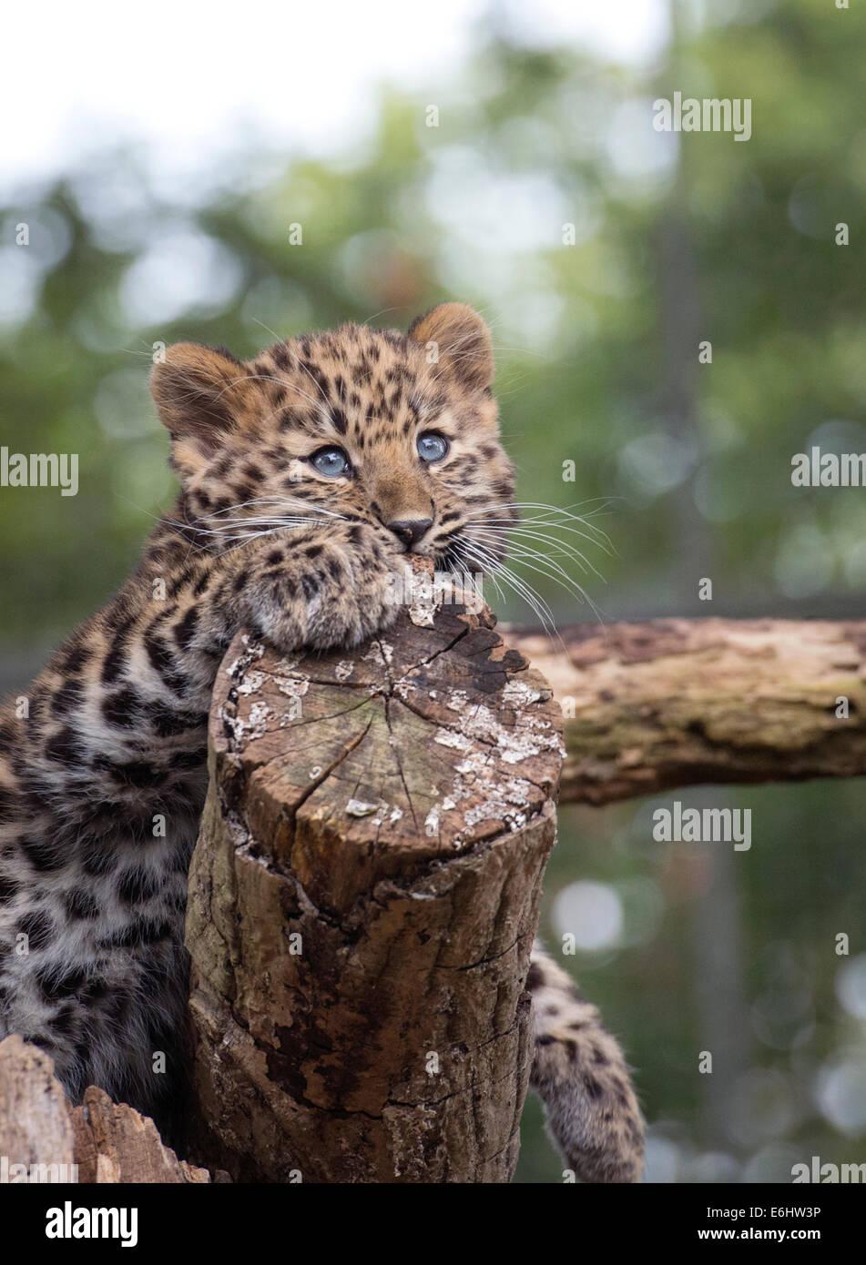 Weibliche Amur Leopard Cub auf Baumstumpf Stockfoto