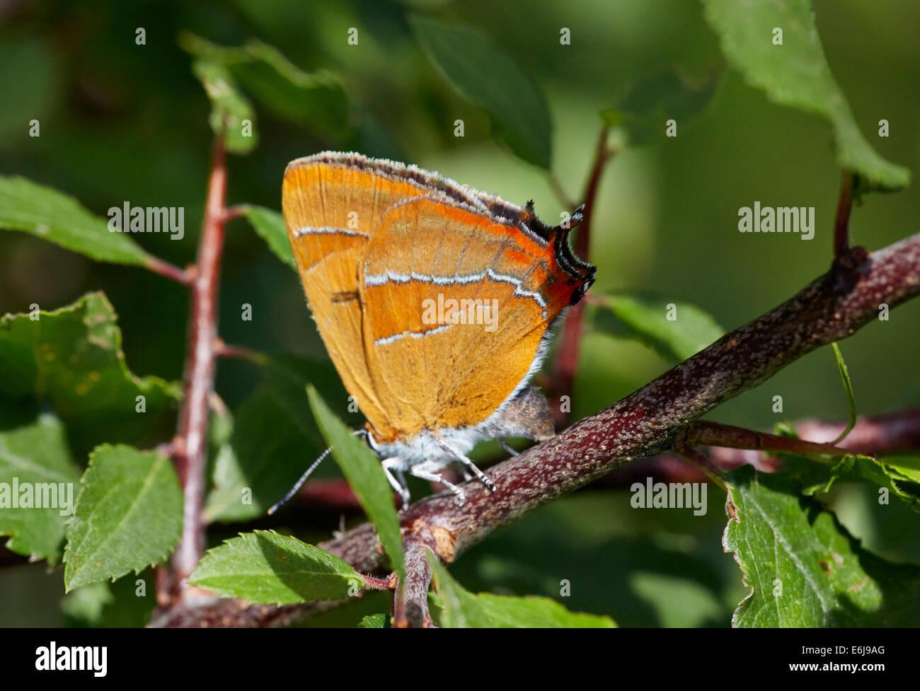 Braun Zipfelfalter Schmetterling Eiablage auf Schlehe. Steyning Schießstand, Steyning, Sussex, England. Stockbild