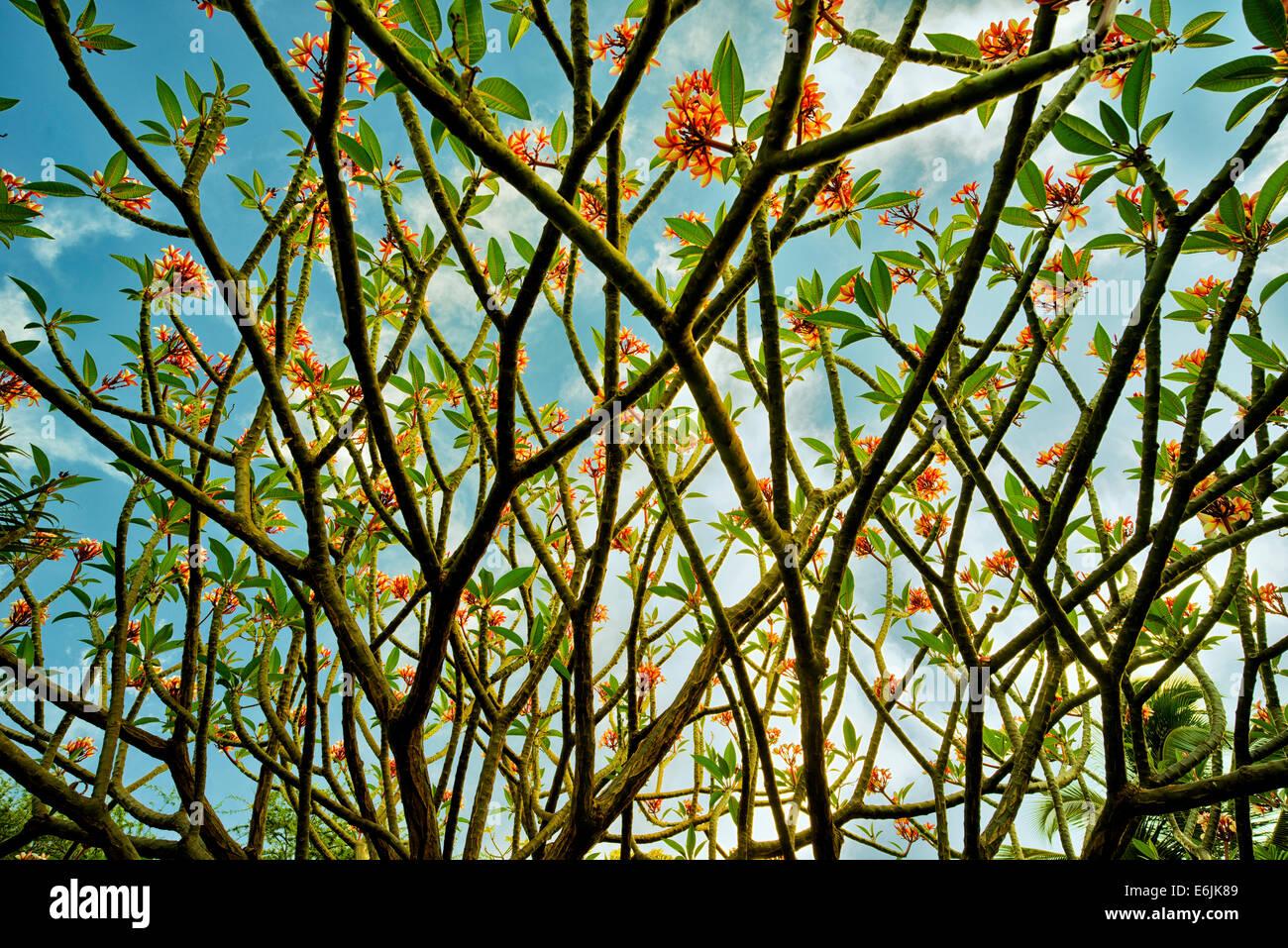 Frangipani oder Plumaria Busch mit Blumen. Lanai, Hawaii. Stockbild