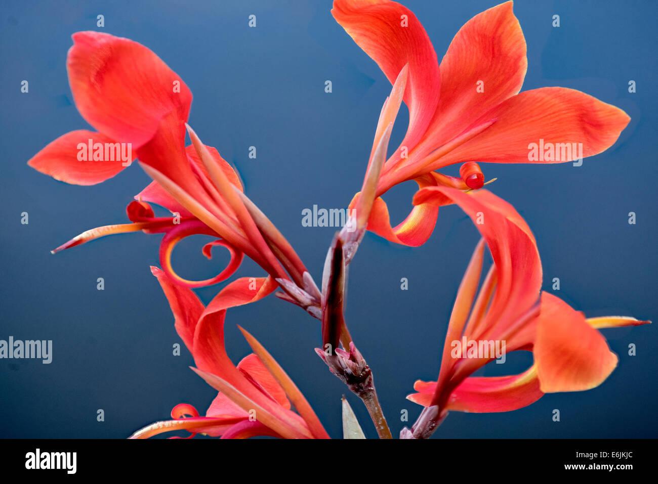 Nahaufnahme von tropischen Blumen. Lanai, Hawaii Stockbild