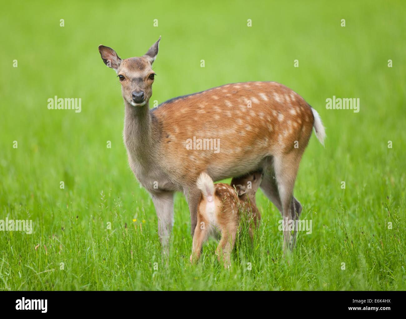 Sika Rotwild (Cervus Nippon), Hind Spanferkel jung, Gefangenschaft, Bayern, Deutschland Stockbild
