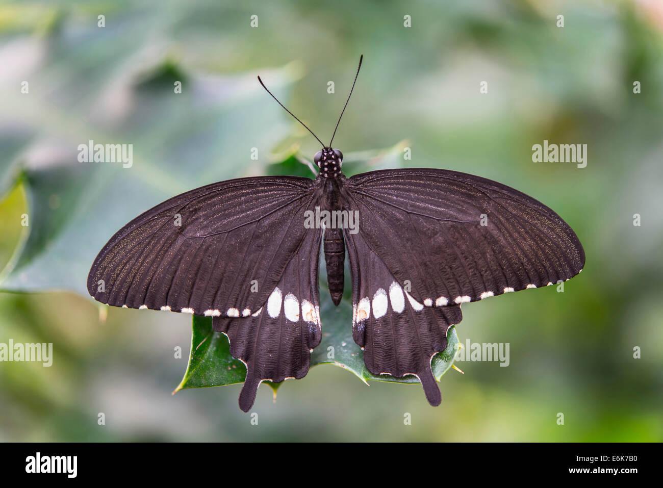 Gemeinsamen Mormone Papilio Polytes Ursprünglich Aus Asien