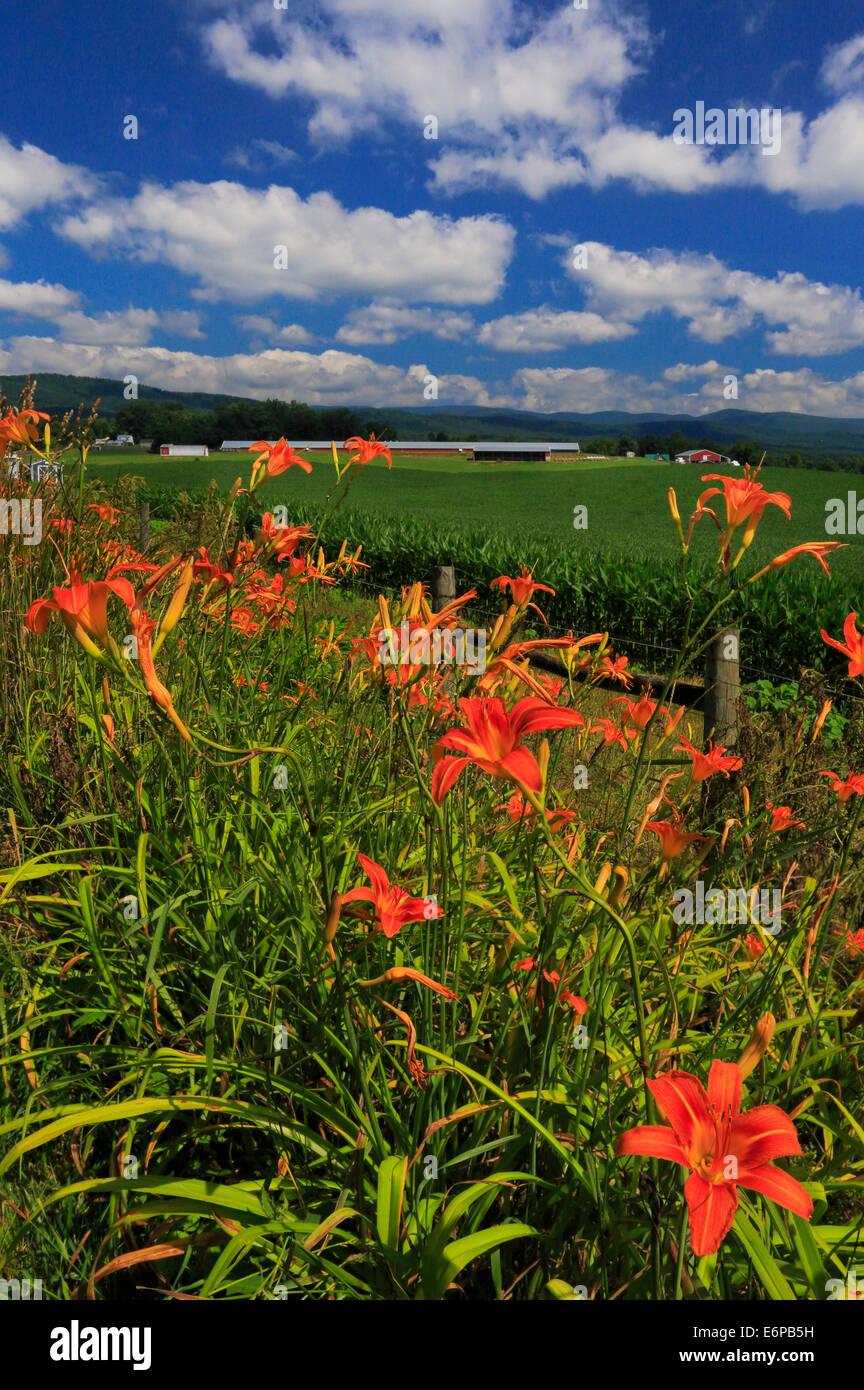 Tag Lilien im Shenandoah-Tal, Mount Solon, Virginia, USA Stockbild