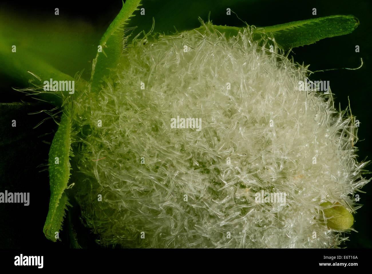 Viola Pensylvanica, fruit1, MD-PG-County_2014-05-19-163854-ZS-PMax_14039632737_o-Samen-Leiter der ein Wald Veilchen. Stockbild
