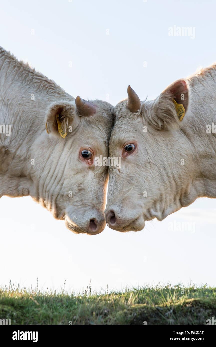 Niederlanden, Blaricum, Heide und Moor genannt Tafelbergheide. Charolais-Rindern. Jungbullen einander herausfordernd Stockbild