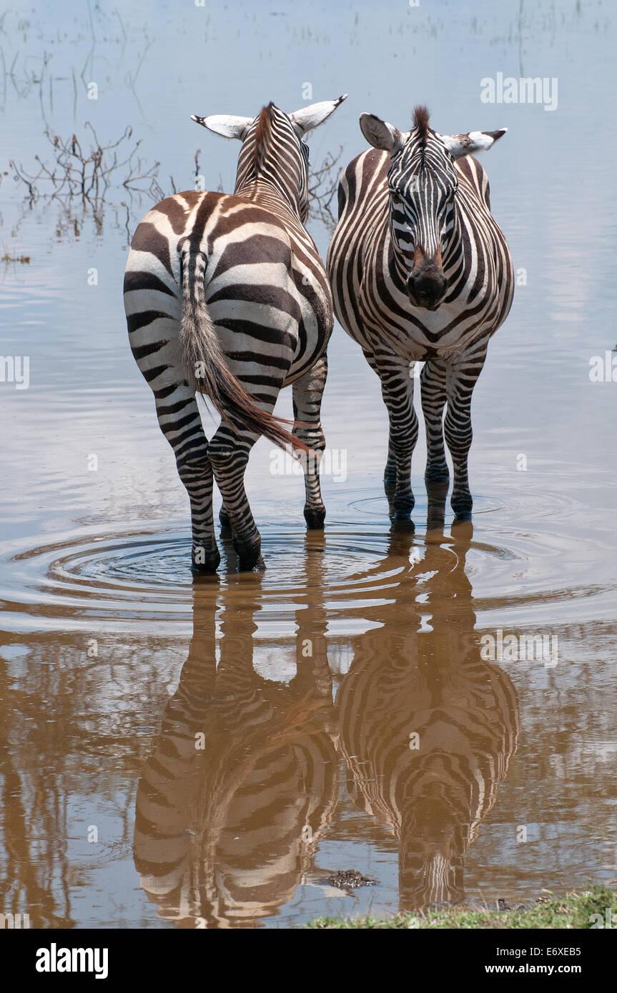 Zwei gemeinsame Zebra stehen nebeneinander in flachen Hochwasser am Seerand in Lake Nakuru National Park Kenia Ostafrika Stockbild
