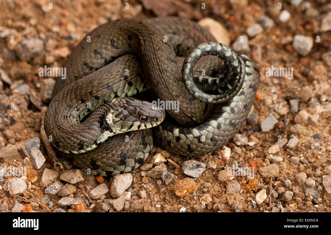 Eine Ringelnatter (Natrix Natrix), davon aufgerollt, ist eine eurasische nicht giftige Schlange. Es findet sich Stockbild