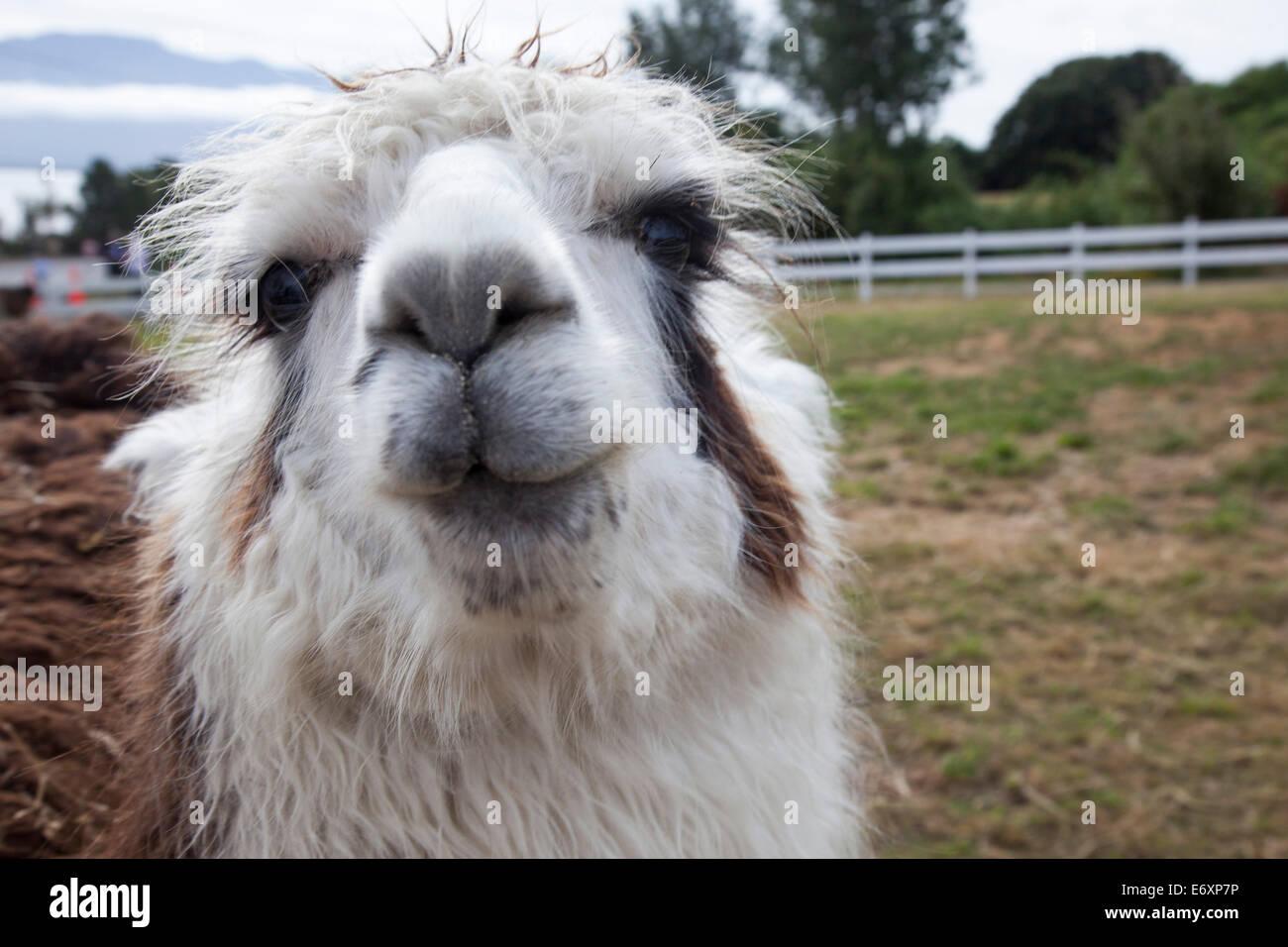 Wet-Look: Porträt von einem Lama mit nassem Fell, in der Nähe von Puerto Montt, Los Lagos, Patagonien, Stockbild