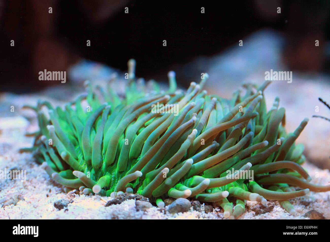 Teller-Korallen, lange Tentakel Stockbild