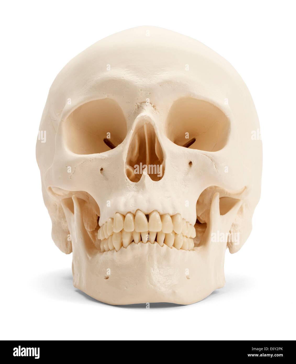Vorderansicht des menschlichen Schädels isoliert auf weißem Hintergrund. Stockbild