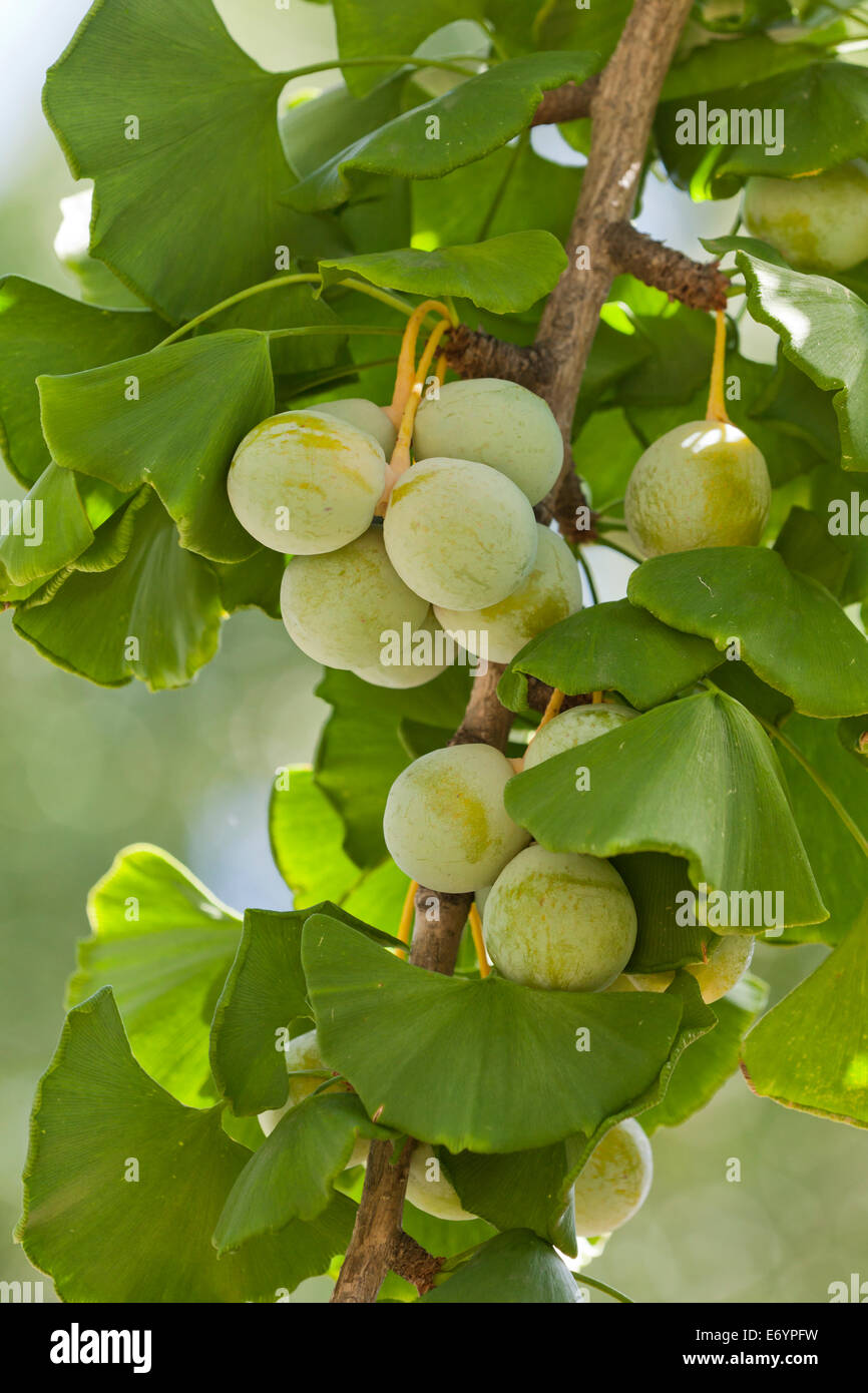 berries of ginkgo biloba stockfotos berries of ginkgo biloba bilder alamy. Black Bedroom Furniture Sets. Home Design Ideas