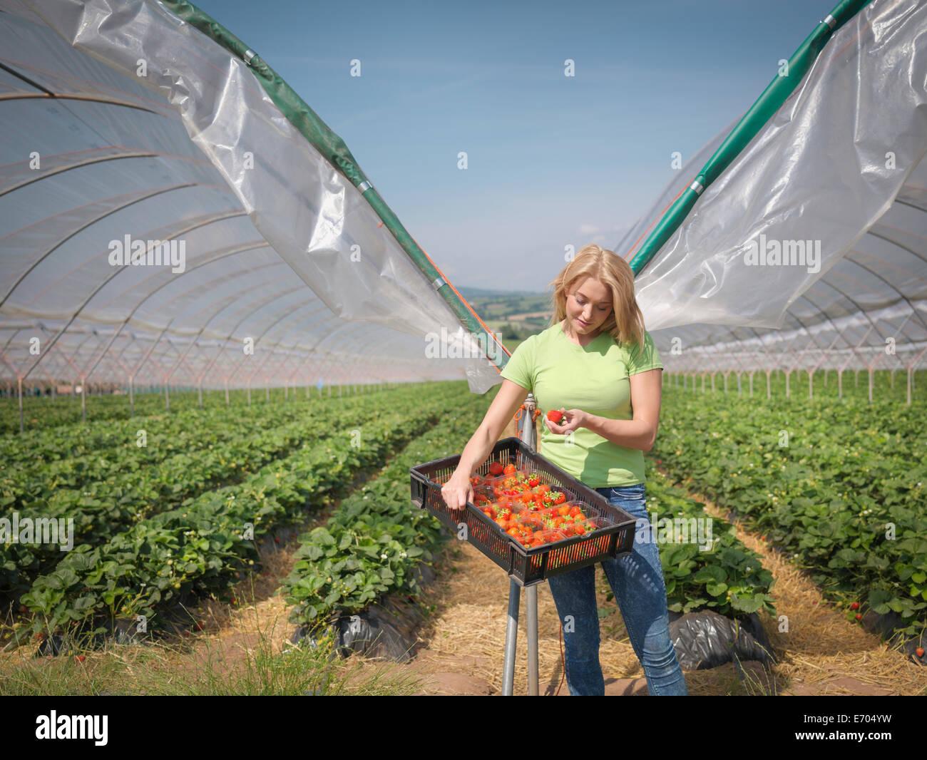 Arbeiter, die Erdbeeren auf Obsthof überprüfen Stockbild