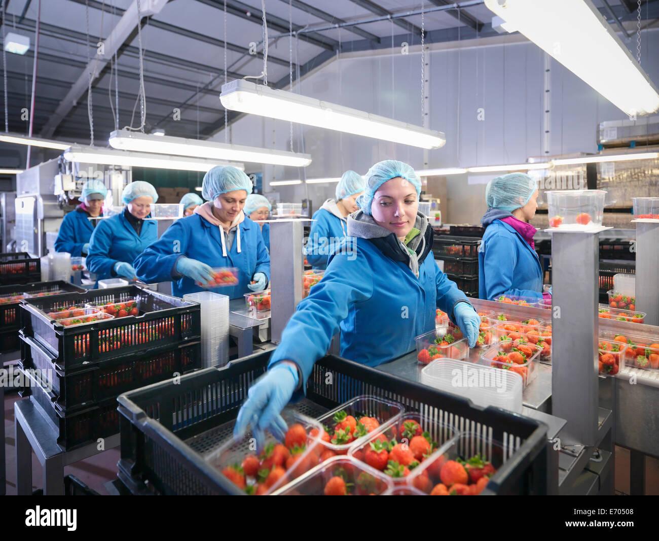 Arbeitnehmer, die Verpackung von frischer Erdbeeren in Schalen auf Obsthof Stockbild