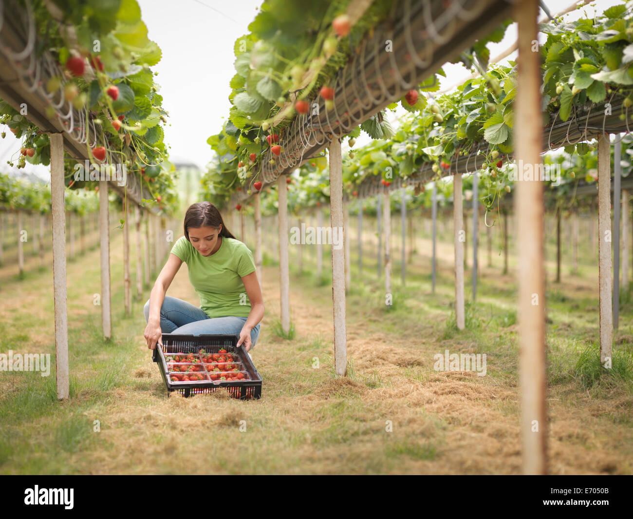 Arbeiter im Folientunnel Obsthof Erdbeeren pflücken Stockbild