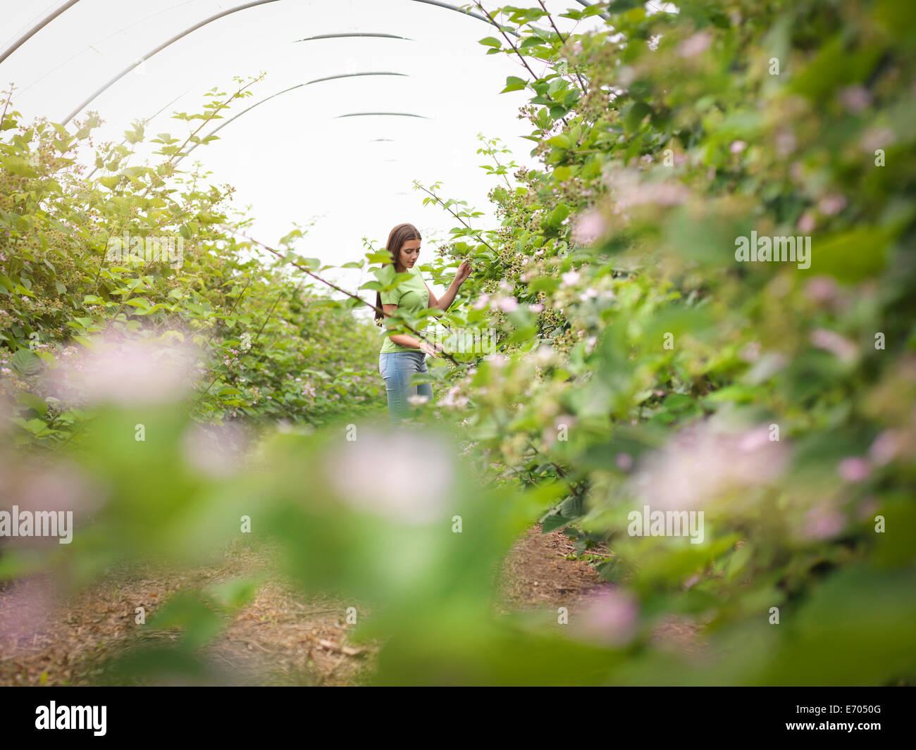Arbeiten, die Überprüfung Blackberry Blumen im Unterglasanbau am Obsthof Stockbild