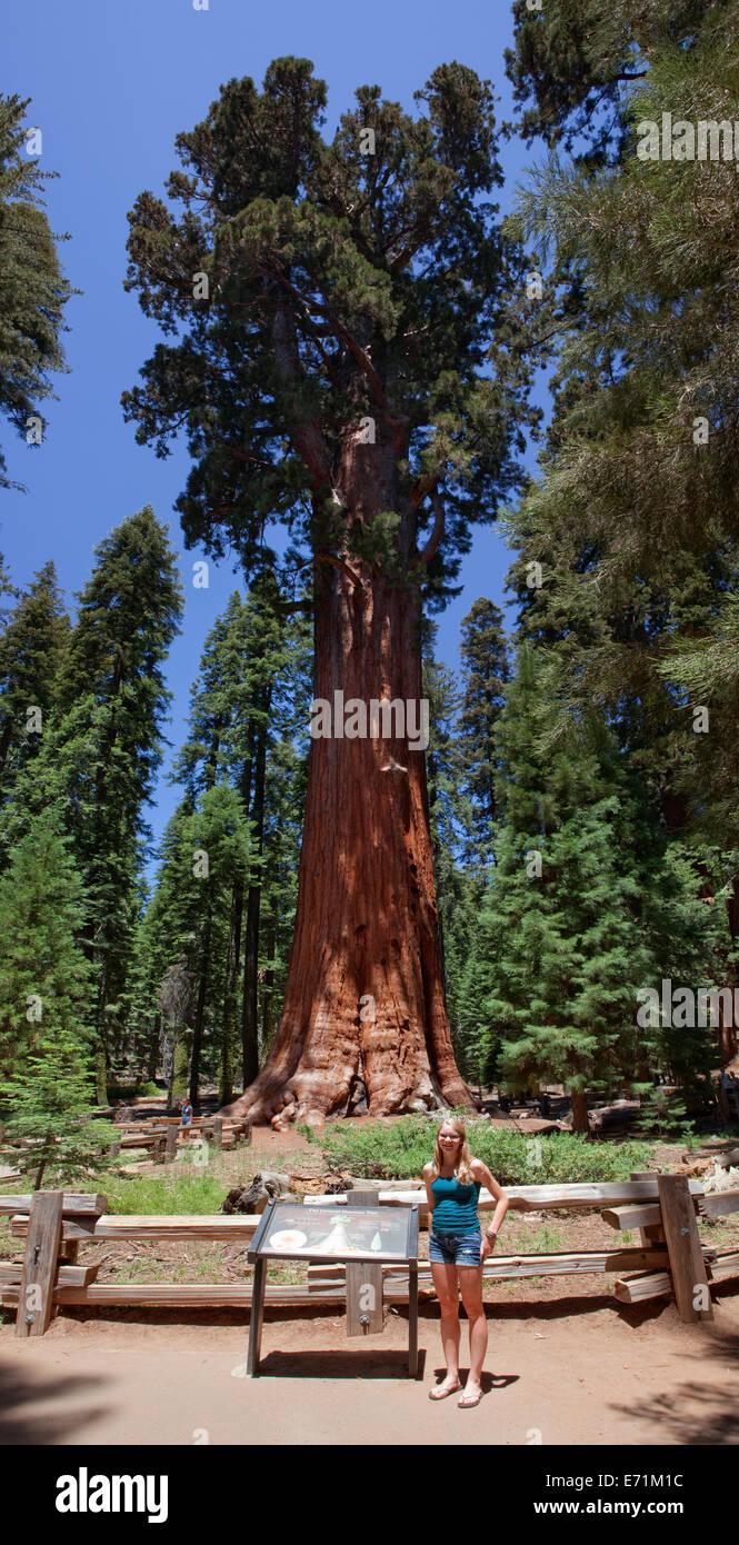 Der General Sherman!  Sequoia Nationalpark ist ein Nationalpark in der südlichen Sierra Nevada östlich Stockbild