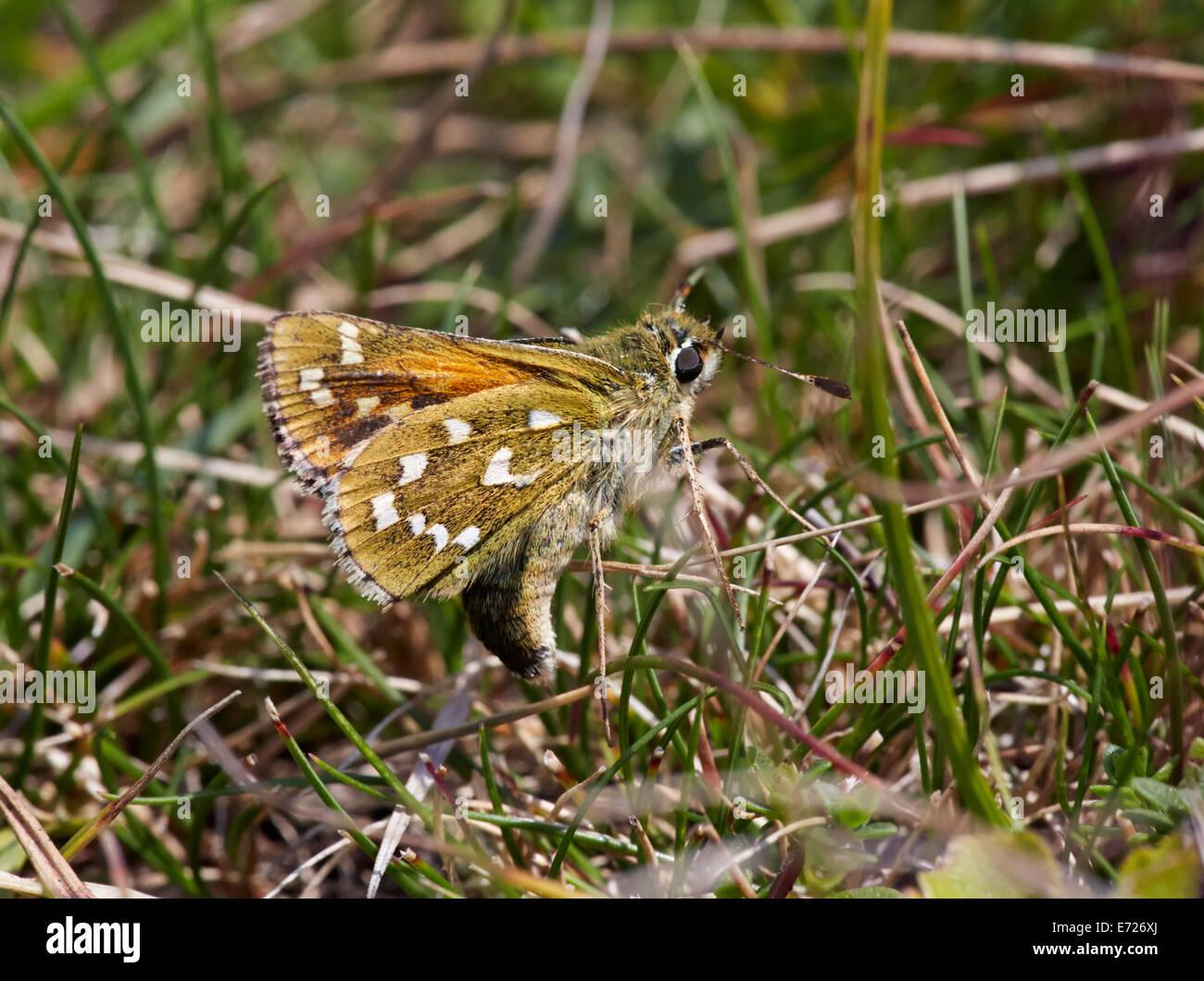 Silber-spotted Skipper Eiablage auf Schaf-Schwingel Rasen. Denbies Hang, gemeinsame Ranmore, Surrey, England. Stockbild