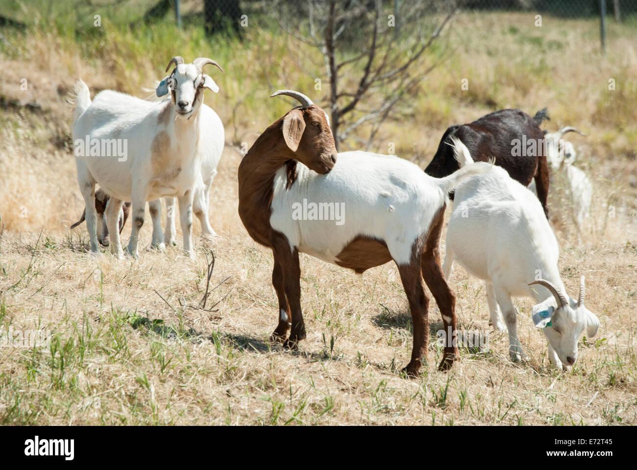 Herden von Ziegen dienen als eine grüne Alternative für Malwerkzeugeinstellungen in einigen Städten Stockbild