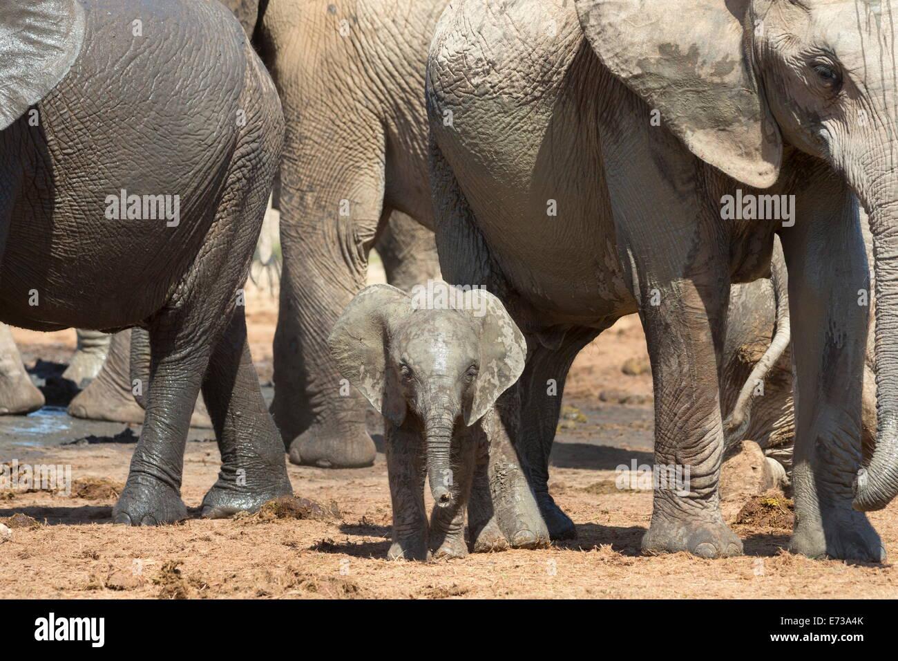 Afrikanische Elefantenbaby mit Herde am Hapoor Wasserloch, Addo Elephant National Park, Eastern Cape, Südafrika Stockfoto