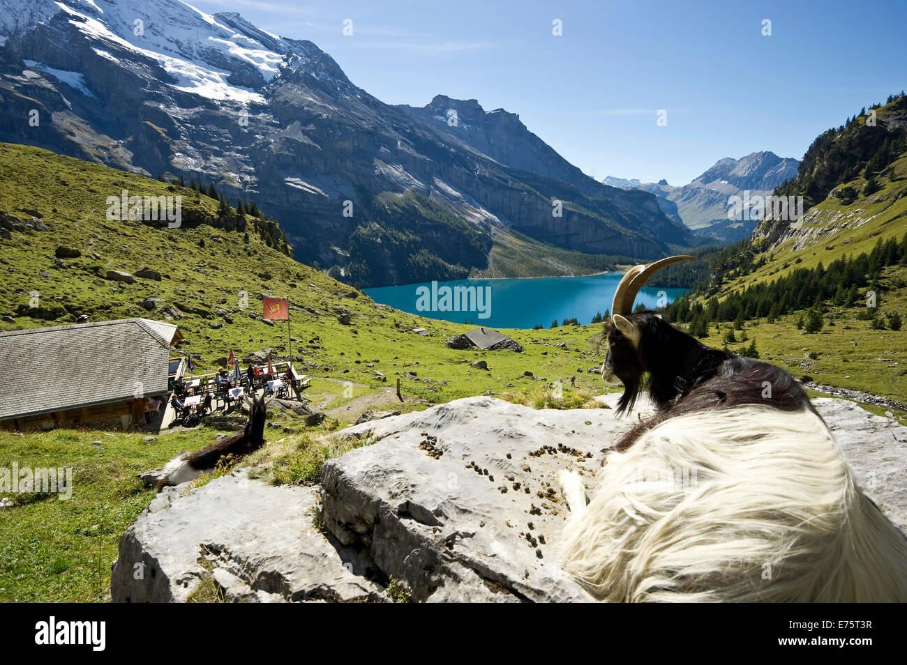 Ziege und ein Berggasthaus, See Oeschinensee, Kandersteg, Berner Oberland, Kanton Bern, Schweiz Stockbild