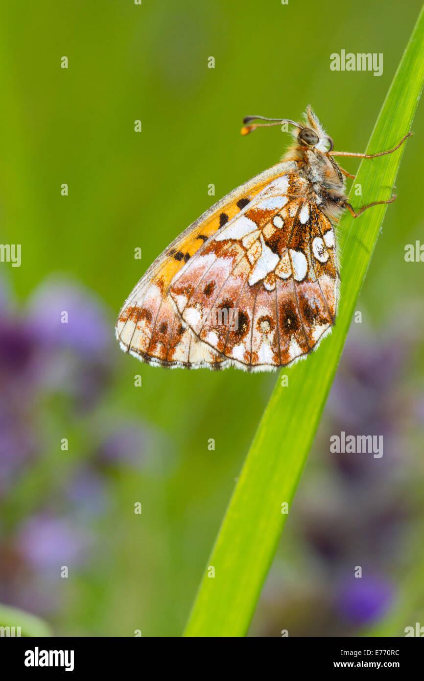Webers Fritillary (Clossiana Dia) Unterseite der einer ausgewachsenen Schmetterling ruht auf dem Rasen. Col de Calzan, Stockbild