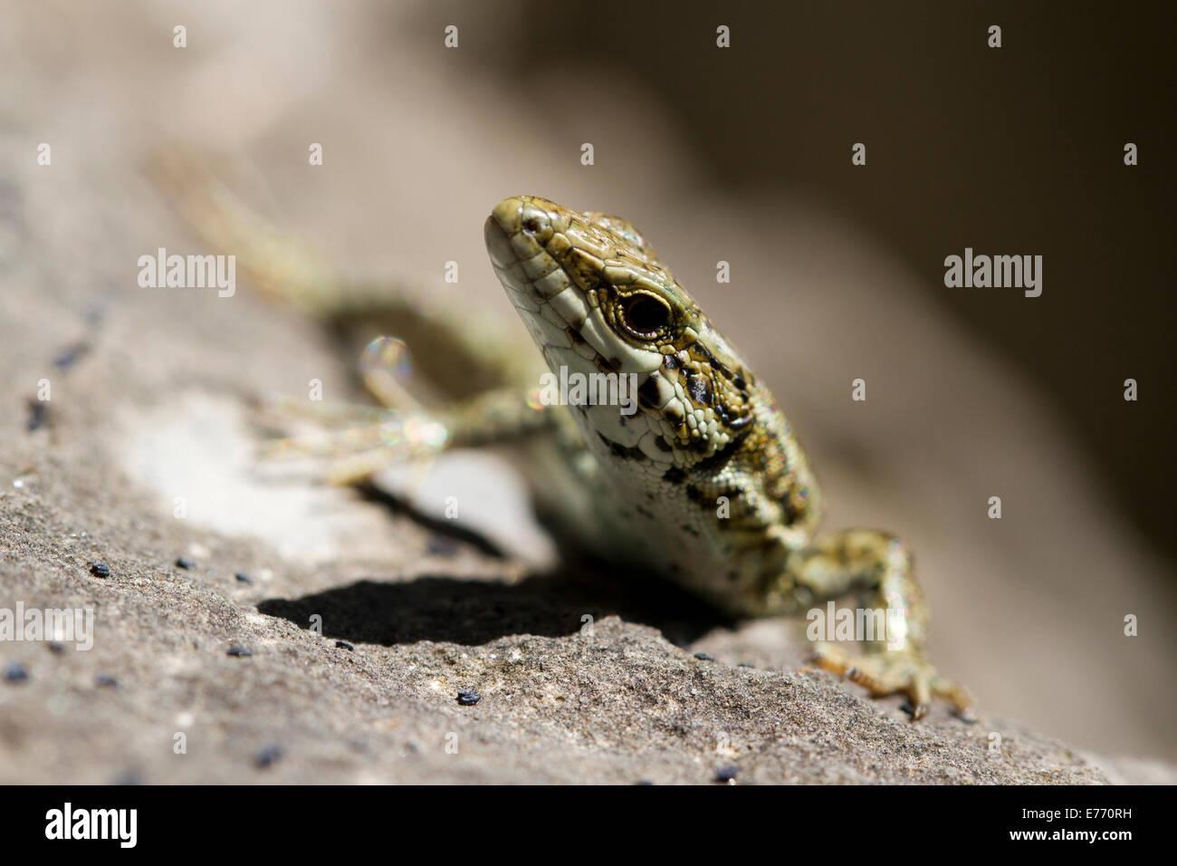 Gemeinsamen Mauereidechse (Podarcis Muralis) Nahaufnahme des Kopfes ein erwachsener Mann. Ariege Pyrenäen, Frankreich. Mai. Stockfoto