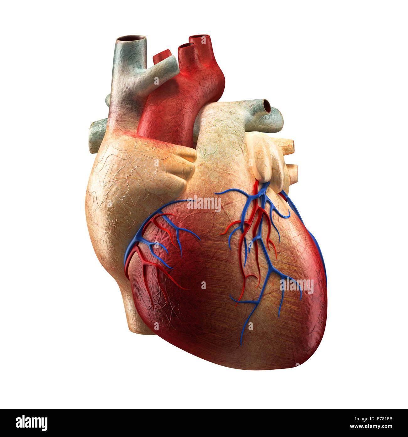 Echte Herz - Anatomie-Modell Stockfoto, Bild: 73320867 - Alamy