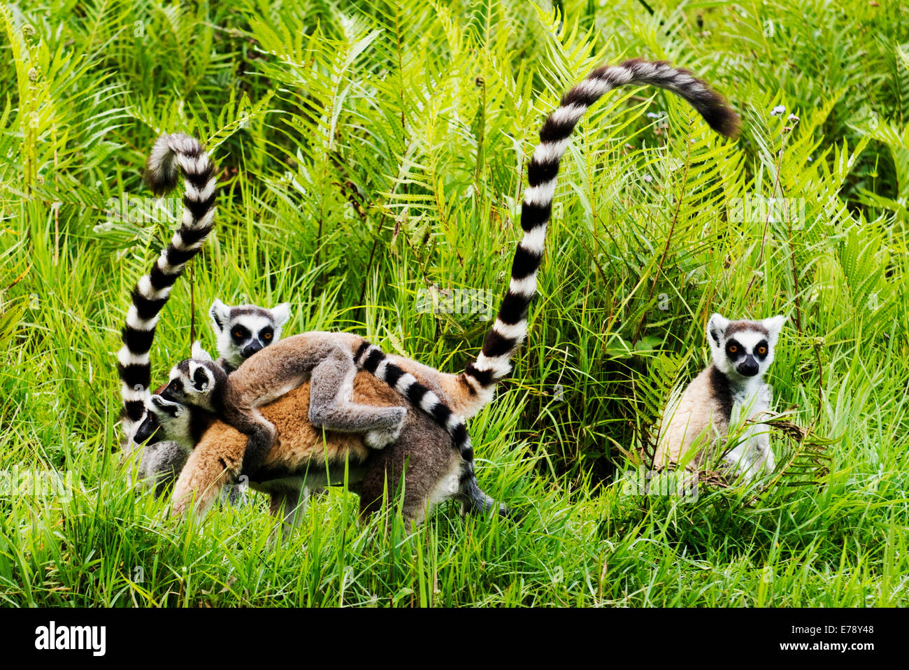Ring-Tailed Lemuren in Madagaskar. Stockbild