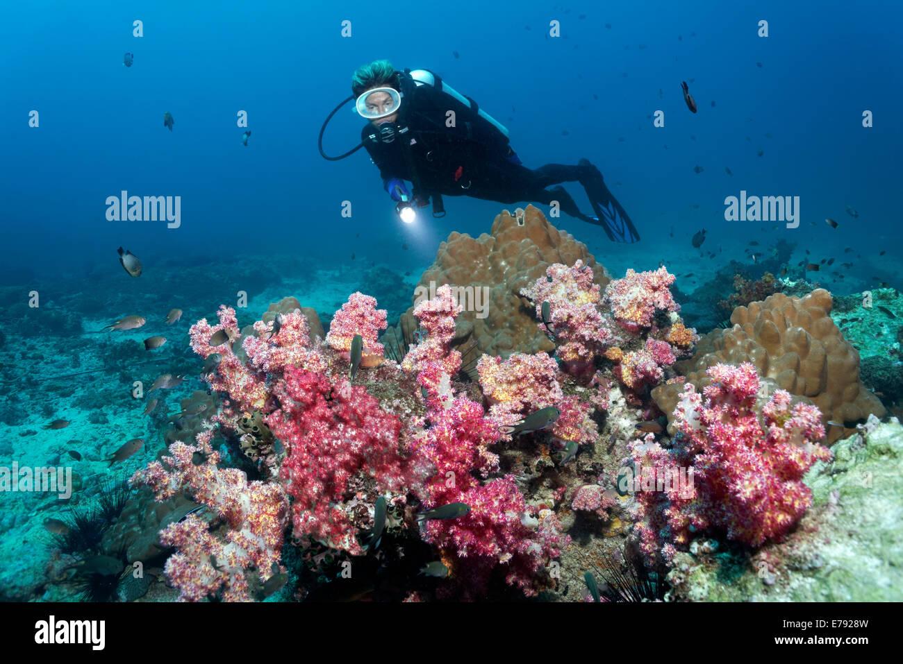 Verschiedene Weichkorallen und Steinkorallen, ein Taucher auf der Rückseite, Dimaniyat Inseln Naturschutzgebiet, Stockbild