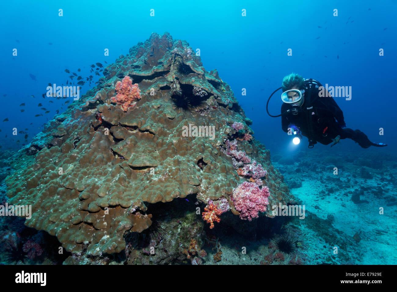 Weiche Korallen wachsen auf Steinkorallen, ein Taucher auf der Rückseite, Dimaniyat Inseln Naturschutzgebiet, Stockbild